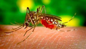 Живица защищает от комаров и насекомых
